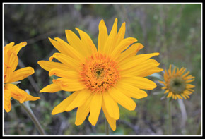 Balsamroot On Sauer Mountain