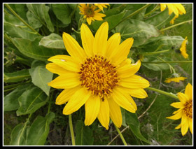 Balsamroot On The Westberg Trail