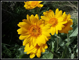 Arrowleaf Balsamroot At Sage Hills