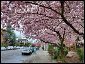 North Seatte Flowering Cherry Trees
