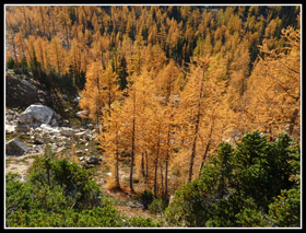 Golden Larch Trees Near Snowy Lakes