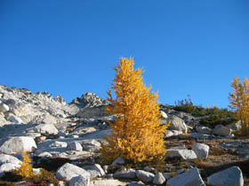 Solitary Larch In The Upper Enchantments