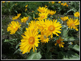 Blooming Balsamroot At Reecer Creek