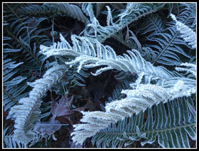 Frosty Ferns Along The MF Snoqualmie River