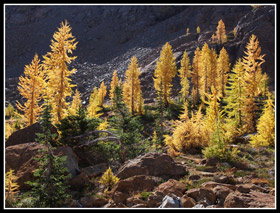 Golden Larch Trees Near Ingalls Pass